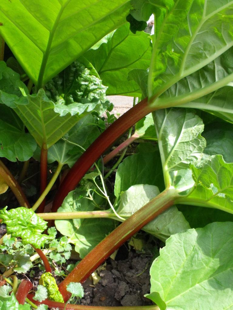 11+Rhubarb